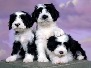 Three dogs white and black color