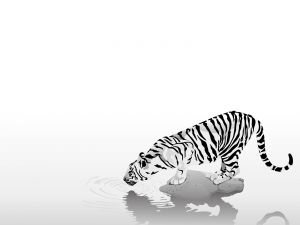 A tiger who drinks water