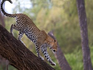 Leopard in the trunk on a tree