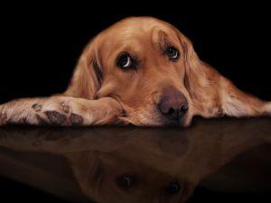 Dog with sad eyes