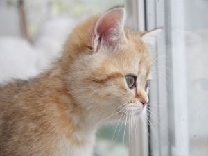 Kitten looking out the window