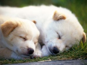 Dogs sleeping on the grass