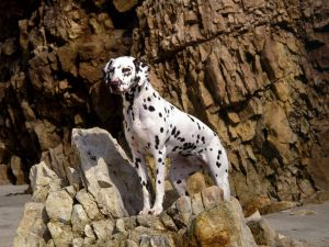 Dalmatian over the rocks