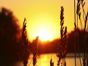 Spikelets at sunset