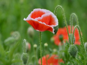 White and red poppy
