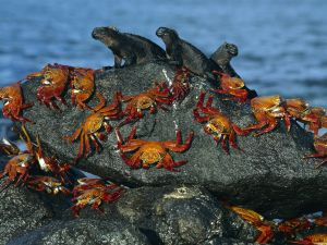 Crabs and marine iguanas on the rock