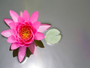 Pink water lily and small leaf in water