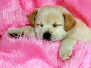 Puppy sleeping on the pink carpet