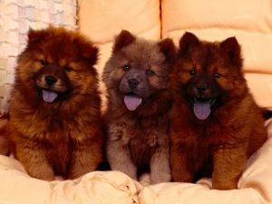 Three puppies Chow Chow