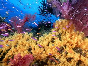 Many anthias fish in the yellow coral