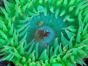 Mouth of a sea anemone