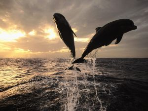 The jump of two dolphins