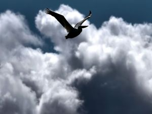 Pelican flying among the clouds