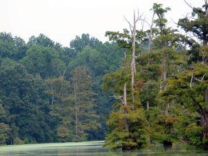 Green water lake between large trees