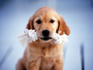 Puppy with a rope in her mouth