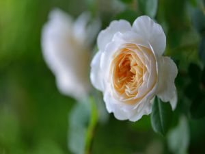 Small rose with petals open
