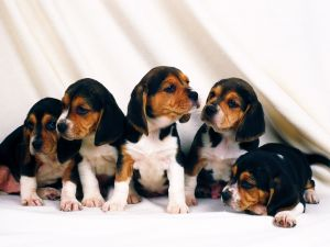 Beagle breed puppies