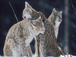Family of lynxes