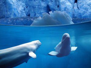 Two belugas underwater
