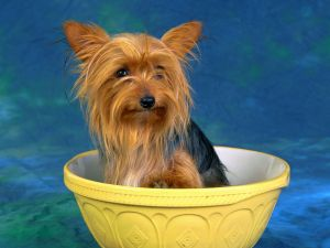 Yorkshire Terrier in a bowl