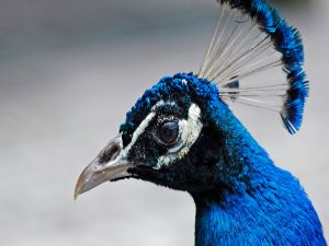 Head of a peacock