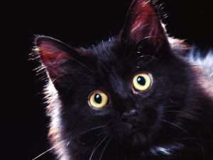 Black cat with showy eyes