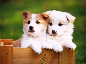 Two puppies in a wooden box