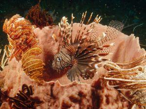 Lionfish (Pterois antennata)