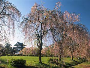 Trees in the Hirosaki castle, Japan