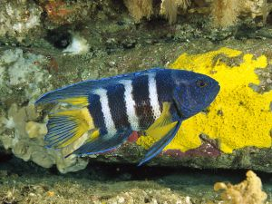 Eastern blue devil (Paraplesiops bleekeri)