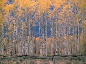 Tall trees in Jackson Hole, Wyoming