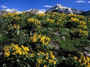 Balsamorhiza sagittata at foot of Boulder Mountains (Idaho)