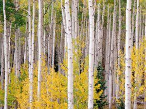 Autumn in Aspen, Colorado