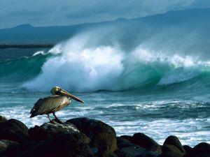 Brown Pelican, Galapagos