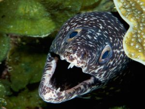 Moray eel showing teeth