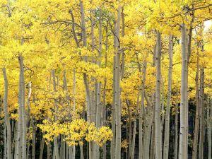 Aspens in Kenosha Pass, Pike National Forest, Colorado