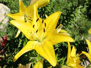 Big yellow lilium