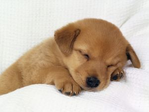 Brown puppy asleep