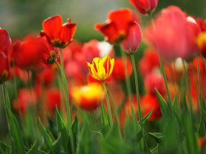 A yellow tulip among red tulips