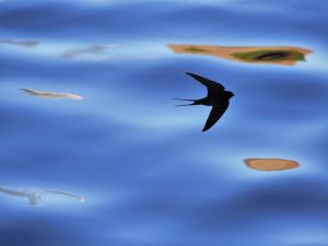 The shadow of a swallow