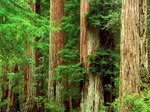 Redwoods at Big Basin Redwoods State Park, California