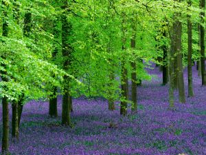Bluebells and Beech Trees, England