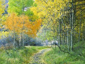 Aspen forest, Eastern Sierra, California