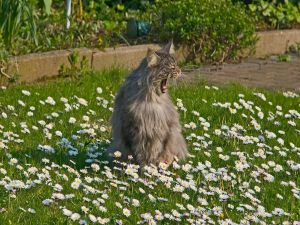 A cat yawning in the garden