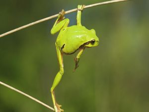 Frog between two branches
