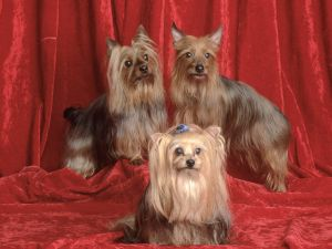 Three Yorkshire Terrier