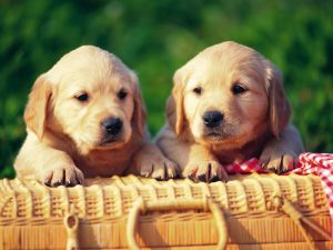 Two dogs next to a basket