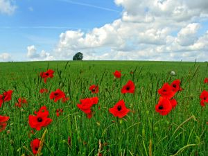 Red poppies on a green field