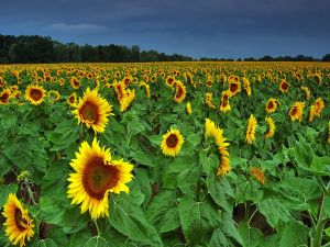Field with big sunflowers