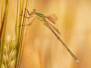 Dragonfly on a wheat spike